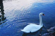 哈尔施塔特湖的天鹅