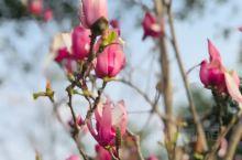 《来自阳曲的诱惑:玉兰花已经盛开了……》  我是孤独浪子,希望我的拍拍让您有所收获。 漫游神州31载