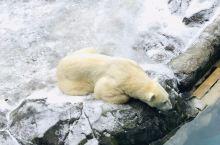 旭山动物园位于北海道旭川市,是日本最北边的动物园。这里对外展示动物是非常还原自然的,动物园内有海豹馆
