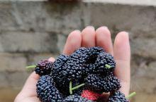 位于广西南方小镇的一株桑葚,种在后花园外,小小的茎叶,大大的果实。色泽光亮,晶莹剔透,食用需盐水清洗
