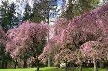 此刻樱花烂漫的温哥华公园,云游加拿大BC省