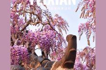 不冷静の费县 走进这座被紫藤花包围的梦幻村庄  城市人越来越向往村庄田园的生活, 春天是最适合去山里