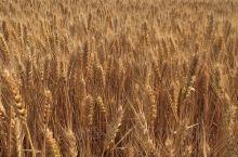 麦子快熟了