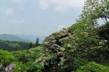 千朵万朵压枝低 华顶国家森林公园