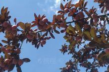 蓝天白云枇杷树