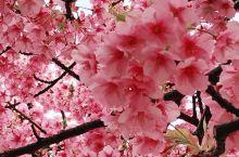 东京樱花集锦        没有新型冠状病毒肆意的去年3月,无需忧虑的东京樱花盛开的日子,随意漫步街