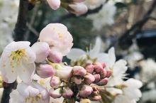 樱花早春三月(手机拍摄于日本居民区街头) 2020年3月,世界最著名的丰田汽车总部所在地~日本爱知县