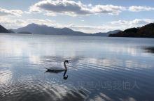 洞爷湖上的天鹅真美!