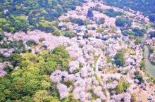 无锡的鼋头渚作为国内的著名赏樱之地,主要有两个比较凸显的特点:一是全景式赏樱。无论身处樱花谷、长春桥