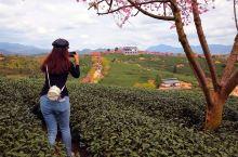 茶园与樱花(春节,福建永福镇)。