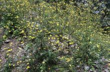 漫山遍野苦菜黄花,让我想起一句诗:苔花如米小,也学牡丹开。