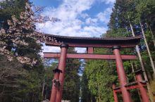河口湖浅间神社,不要错过左转停车场的大片樱花