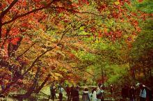 本桓公路号称中华赏枫第一路,景色特别美,最大的亮点在洋湖沟-画家村一带的原生态赏枫地,没有门票。本人