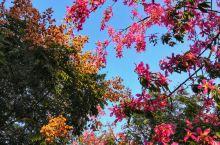 厦门的秋色美如画  厦门的秋天 是五彩缤纷的台湾栾树: 是给城市带来浪漫气息的美丽异木棉: 是醉人的
