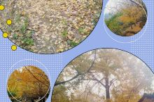 """桂林海洋村看银杏树。广西桂林市灵川县海洋乡,距桂林市45千米,桂海公路可直达。海洋乡被誉为""""天下银杏"""