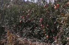 九门口水上长城,苹果大丰收。