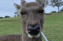 奈良的鹿随便盘,温顺的一批。