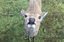 终于见到了心心念的小鹿 刚开始觉得还挺萌的 一直买了饼干 想去喂它们 举着一个鹿饼被围攻 最后还被小