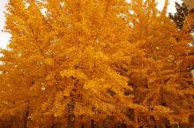 金秋时节,金黄色的风景,陶醉于其中