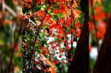 杭州丝绸博物馆红叶正浓。 中国丝绸博物馆