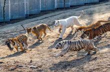 【与猩猩握手、为大象修脚……春节不打烊 #济南野生动物园邀您一起过大年# 】记者自济南野生动物园获悉