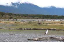 #在家云旅游#一起来乌斯怀亚企鹅岛,憨憨呆呆的企鹅特别可爱,平时见的都是喂养的企鹅吧,真正野生的企鹅