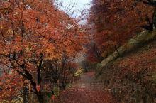 名古屋的秋天,色彩斑斓。原来秋天也可以看樱花的!丰田那边过来也并不是特别远,天气有点凉意,但是树木颜
