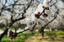 龙美园的杏花开了