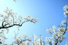 什川梨园的景色,以春秋两季最佳。春到什川,最先看到的是沿河的梨花迎风怒放,给古老的黄河镶上两道雪白的