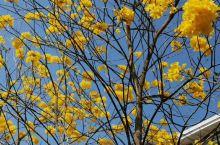摇曳贵气的黄花风铃。