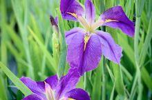 请保持静默,永远不要再回答我 , 终究必须离去这柔媚清朗 , ...... 一如深紫色的鸢尾花之于这