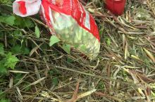 第一次拔笋,剥笋,身上被虫子咬了半死,但看到满满一袋战果,