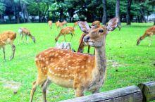 自古鹿在奈良当地人心中就是神圣和尊贵的象征!  传说公元710年在创建奈良春日神社的时候,从鹿岛请来