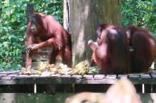 最大的西必洛猿人保护区  西必洛猿人保护区面积已经达到了45平方公里,算是世界上最大的类人猿保护区了