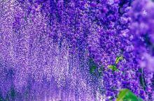 世界十大梦幻旅游景点——河内藤园  日本河内藤园被评为是世界十大梦幻旅游景点,许多人看照片都无法相信