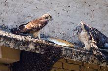 尼泊尔的蜂鹰袭击野蜂巢。