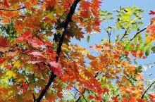 敦化寒葱岭枫叶红了。