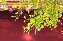 安丘公冶长书院。这些照片是2017年秋天在安丘公冶长书院拍的,早就听说这里有两棵千年银杏树,所以入秋