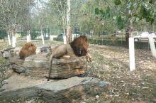 动物园狮子,挺好看,就是坐车才能看,不让停留