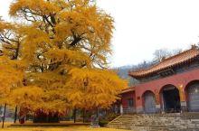 春来看花开,秋来赏银杏!    从夏至秋,绿叶渐化灿黄; 秋染层林,金色美度流年!  山东安丘城顶山