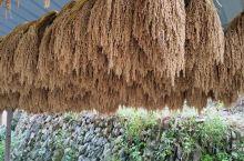 堂安侗寨,日光正好,村民家家户户晾晒自家的糯米。