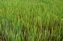 家乡的大米,原生态无污染,黄鱼圈连三坑