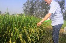 这水稻长得怎么样