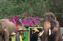 景洪·西双版纳  野象谷中的大象学校里,大象们的表演给我们留下了深刻的印象!这个视频中大象戴上眼镜坐