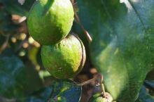 琳琅满目的热带水果,菠萝蜜,杨桃,青枣,香蕉,莲雾,百香果(西番莲),进入了一个大果园里,好香,好美