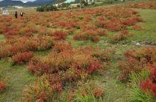 香格里拉的狼毒花。据说狼毒花可以治疗癌症