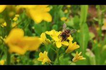 春天,万物复苏,田园处处桃李芬芳、杜鹃花缤纷艳丽,油菜花开满地黄,丛间蝶舞蜜蜂忙;清风吹拂金波涌,飘