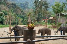 大象也会画画,就在清迈。