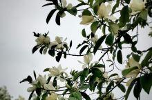 长兴开元芳草地酒店茶山上的含笑,犹如一片乳白色的轻薄雪被,掩映在一片绿意中,虽无香味,心旷神怡。无论
