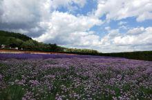 在富良野看薰衣草紫色花田 一提起薰衣草,想必很多人都会想起法国的普罗旺斯,而在日本也有这么一个地方,
